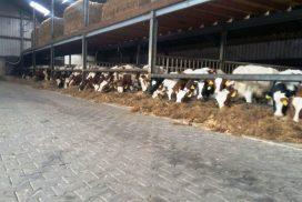 MTS Woertink fokstieren voor de fokkerij en stieren voor de slacht